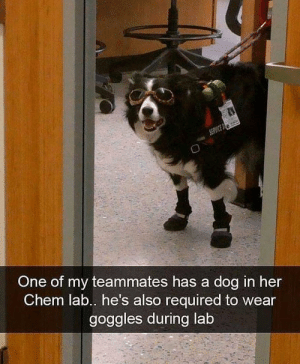 Funny, Her, and Chem: One of my teammates has a dog in her  Chem lab.. he's also required to wear  goggles during lab Safety is number 1 priority via /r/funny https://ift.tt/2FU4pmj