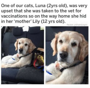 """Cats, Reddit, and Taken: One of our cats, Luna (2yrs old), was very  upset that she was taken to the vet for  vaccinations so on the way home she hid  in her 'mother' Lily (12 yrs old).  Reddit u/Bhaktiyogini animalrates:Meet Lily and Luna. Lily does not look impressed at all.""""Who hurt my baby"""" 13/10 for both"""