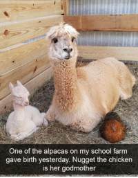 School, Chicken, and Her: One of the alpacas on my school farm  gave birth yesterday. Nugget the chicken  is her godmother