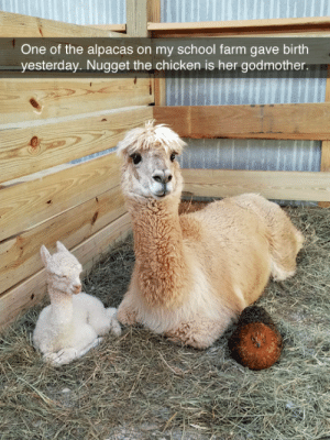 Lol, Reddit, and School: One of the alpacas on my school farm gave birth  yesterday. Nugget the chicken is her godmother. imakemermaidsnut: tastefullyoffensive: They look so content. (via thedocholliday)  Nugget the chicken lol 😂
