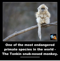 snubbed: One of the most endangered  primate species in the world  The Tonkin snub-nosed monkey.