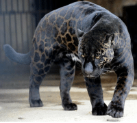One of the rarest animals on the planet, the black panther.: One of the rarest animals on the planet, the black panther.