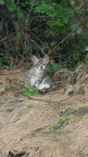 Kittens, Wild, and Living: one of the wild kittens living in my neighbours garden