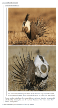 Sexy, Tits, and Queen: onerof5thandvermo  unrelatedtouserbox  ive seen a lot of whacky creatures in my time but i rlly wanna kno what  was going on in gods big ol galaxy brain when he made this sexy titbird  Those are the male Sage Grouse and they're trying to drive the females wild  with their big ol noisy tits, wait till you hear the sound they make when they  smack em together  it's the animal kingdom's version of a drag queen If youve got it, flaunt it