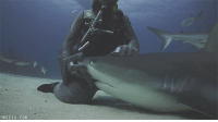 vetmedirl:  castiel-knight-of-hell:  thefingerfuckingfemalefury:  ayellowbirds:  blackumi:  Y u pet meKeep pet me  This always makes me happy, because the source video shows that the shark actually wanted this. It experienced it once and then kept coming back for more petting.(also, because i've seen comments about this: the shark is able to breathe while still, not all species need to be in motion to pass water through their gills. If you look closely, you can see its gills pumping)  I would very much like if more people would pet sharks and be good to them instead of trying to hurt them please Sharks are very lovely and should get pettings like these more :)   MythBusters did an episode on how to survive a shark attack and a shark's nose is so sensitive that a gentle tap is all you need to drive it away. The guy sat on the ocean floor with a bucket of chum and didn't get attacked once, when hungry sharks swam up he'd give them a boop on the nose and they'd swim away. So if the shark is friendly, pet the snoot. If the shark is dangerous, boop the snoot. Either way, no one dies.   boop the snoot: ONESIA COM vetmedirl:  castiel-knight-of-hell:  thefingerfuckingfemalefury:  ayellowbirds:  blackumi:  Y u pet meKeep pet me  This always makes me happy, because the source video shows that the shark actually wanted this. It experienced it once and then kept coming back for more petting.(also, because i've seen comments about this: the shark is able to breathe while still, not all species need to be in motion to pass water through their gills. If you look closely, you can see its gills pumping)  I would very much like if more people would pet sharks and be good to them instead of trying to hurt them please Sharks are very lovely and should get pettings like these more :)   MythBusters did an episode on how to survive a shark attack and a shark's nose is so sensitive that a gentle tap is all you need to drive it away. The guy sat on the ocean floor with a bucket of chum and didn't get attacked once, when hungry sharks swam up he'd give them a boop on the nose and they'd swim away. So if the shark is friendly, pet the snoot. If the shark is dangerous, boop the snoot. Either way, no one dies.   boop the snoot