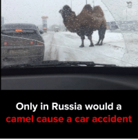 Memes, Russia, and 🤖: Only in Russia would a  camel cause  a car accident How does this even happen? #itsviral
