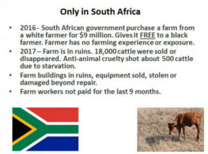 Africa, Club, and Tumblr: Only in South Africa  2016- South African government purchase a farm from  a white farmer for $9 million. Gives it FREE to a black  farmer. Farmer has no farming experience or exposure  2017-Farm is in ruins. 18,000 cattle were sold or  disappeared. Anti-animal cruelty shot about 500 cattle  due to starvation.  Farm buildings in ruins, equipment sold, stolen or  damaged beyond repair.  Farm workers not paid for the last 9 months. laughoutloud-club:  Farming in South Africa