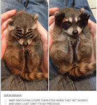 Raccoon: optical delusion  BABY RACCOONS COVER THEIR EYES WHEN THEY GET SCARED  AND OMG JUST CANT ITS SO PRECIOUS