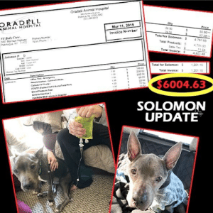 Bailey Jay, Bilbo, and Family: Oradell Animal Hospital  2000  ORADELL  ANIMAL HOSPITAL  Qt  Mar 11, 2019  0o 00  Invoice Number  NY Buly Crew  457 Montauk Mighway Prmary Nimber  56 80  Total for Soomon: 791 93  Total Products4,79193  Total 'evoca: 4,602 48  11.55  Salomon  PrTotal for Solomon: s  S 1201.15  Total Invoice: 201.1  200 00  282 00  Ntsiostion  3 00  $6004.63  SOLOMON  UPDATE SOLOMON UPDATE🚨 Our handsome big eared boy is fighting to get back to healthy with his awesome foster family.  Solomon is suffering from an autoimmune gut disease; eg: similar to Crohn's or Celiac but in canine terms.  He first represented with chronic vomiting which ultimately led to the first discovery of a ruptured hernia which required surgery. During surgical recovery, he then presented with more vomiting and he spent time in AMC in NYC which uncovered the presence of autoimmune disease. A strict diet and prescription protocol was put in place and he seemed stable. But then he presented with diahrea and he is not absorbing the nutrition which is making his appearance shocking. Solomon was then admitted into Oradell for an endoscopy with biopsies with his internal medicine specialist who uncovered healing ulcers, and blunted villi which is why he is unable to absorb calories and nutrients and a more specific diagnosis, IBD, for exactly why he needs to be on a very stringent medication, 4 medications daily, and nutrient regimen.  He is also receiving fluids and vitamin supplements plus CBD.  When Solomon was rescued, we promised him as we do to all our rescues, we will do everything possible for them.  Solomon's disease is complicated but we are in it to win it!  🙏Please send him your prayers and support.  and if you would like to contribute to his ongoing medical care, please visit www.nybullycrew.org > Adopt> Dire Cases > Solomon  Or Venmo @newyorkbullycrew  #solomonnybc #direcases #nybc #fosterssavelives @iheartpitties