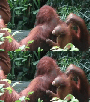 Orangutan trusts their caretaker completely (via): Orangutan trusts their caretaker completely (via)