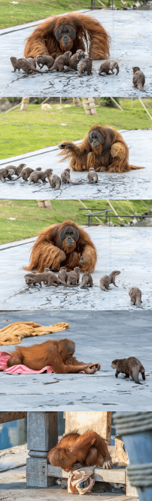 Orangutans Befriend Otters That Often Swim Through Their Enclosure At The Zoo Forming 'A Very Special Bond'.(via): Orangutans Befriend Otters That Often Swim Through Their Enclosure At The Zoo Forming 'A Very Special Bond'.(via)