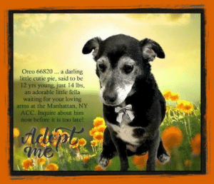 Animals, Desperate, and Dogs: Oreo 66820 a darling  little cutie pie, said to be  12 yrs young, just 14 lbs,  an adorable little fella  waiting for your loving  arms at the Manhattan, NY  ACC. Inquire about him  now before it is too late!  AdpoR **FOSTER or ADOPTER NEEDED ASAP** Oreo 66820 ... a darling little cutie pie, said to be 12 yrs young, just 14 lbs, an adorable little fella waiting for your loving arms at the Manhattan, NY ACC. Inquire about him now before it is too late!  ✔Pledge✔Tag✔Share✔FOSTER✔ADOPT✔Save a life!  Oreo 66820 Small Mixed Breed Sex male Age 12 yrs (approx.) - 14 lbs  My health has been checked.  My vaccinations are up to date. My worming is up to date.  I have been micro-chipped.   I am waiting for you at the Manhattan, NY  ACC. Please, Please, Please, save me!  **************************************** *** TO FOSTER OR ADOPT ***   If you would like to adopt a NYC ACC dog, and can get to the shelter in person to complete the adoption process, you can contact the shelter directly. We have provided the Brooklyn, Staten Island and Manhattan information below. Adoption hours at these facilities is Noon – 8:00 p.m. (6:30 on weekends)  If you CANNOT get to the shelter in person and you want to FOSTER OR ADOPT a NYC ACC Dog, you can PRIVATE MESSAGE our Must Love Dogs - Saving NYC Dogs page for assistance. PLEASE NOTE: You MUST live in NY, NJ, PA, CT, RI, DE, MD, MA, NH, VT, ME or Northern VA. You will need to fill out applications with a New Hope Rescue Partner to foster or adopt a NYC ACC dog. Transport is available if you live within the prescribed range of states.  Shelter contact information: Phone number (212) 788-4000 Email adopt@nycacc.org  Shelter Addresses: Brooklyn Shelter: 2336 Linden Boulevard Brooklyn, NY 11208 Manhattan Shelter: 326 East 110 St. New York, NY 10029 Staten Island Shelter: 3139 Veterans Road West Staten Island, NY 10309 **************************************  NOTE:  WE HAVE NO OTHER INFORMATION THAN WHAT IS LISTED WITH THIS FLYER.  ************************************** RE: ACC site Just because a dog is not on the ACC site does NOT necessarily mean safe. There are many reasons for this like a hold or an eval has not been conducted yet or the dog is rescue-only... the list goes on... Please, do share & apply to foster/adopt these pups as well until their thread is updated with their most current status. TY! ****************************************** About Must Love Dogs - Saving NYC Dogs: We are a group of advocates (NOT a shelter NOR a rescue group) dedicated to finding loving homes for NYC dogs in desperate need. ALL the dogs on our site need Rescue, Fosters, or Adopters & that ASAP as they are in NYC high-kill shelters. If you cannot foster or adopt, please share them far & wide. Thank you for caring!! <3 ****************************************** RESCUES: * Indicates New Hope Rescue partner is accepting applications for fosters and/or adopters. http://www.nycacc.org/get-involved/new-hope/nhpartners ****************************************** https://www.nycacc.org/adopt/oreo-66820 ++++ http://nycaccpets.shelterbuddy.com/animal/animalDetails.asp?s=adoption&searchTypeId=4&animalType=3%2C16&datelostfoundmonth=6&datelostfoundday=23&datelostfoundyear=2019&tpage=8&find-submitbtn=Find+Animals&pagesize=16&task=view&searchType=4&animalid=100179 ++++ Beamer Maximillian Carolin Hocker Caro Hocker Wendy Frohlich Caldwell Michele St Laurent