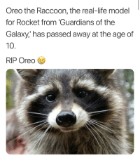 Fat Raccoon: Oreo the Raccoon, the real-life model  for Rocket from 'Guardians of the  Galaxy,' has passed away at the age of  10.  RIP Oreo