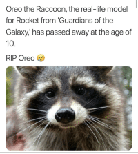 Credit goes to u/MyNameAinsley on r/thanosdodnothing wrong: Oreo the Raccoon, the real-life model  for Rocket from 'Guardians of the  Galaxy,' has passed away at the age of  10  RIP Oreo Credit goes to u/MyNameAinsley on r/thanosdodnothing wrong
