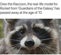 Press F to pay respect: Oreo the Raccoon, the real-life model for  Rocket from 'Guardians of the Galaxy,' has  passed away at the age of 10. Press F to pay respect