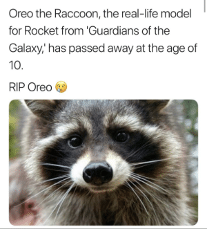 Dank, Life, and Memes: Oreo the Raccoon, the real-life model  for Rocket from 'Guardians of the  Galaxy,' has passed away at the age of  10  RIP Oreo Credit goes to u/MyNameAinsley on r/thanosdodnothing wrong by Pancoats MORE MEMES