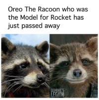 From @dominicslegion - Rest in Peace Legend....: Oreo The Racoon who was  the Model for Rocket has  just passed away  DOMINIC'S From @dominicslegion - Rest in Peace Legend....
