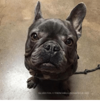 Do It Again, Memes, and 🤖: ORG  SILVER FOX  FRENCHBULLDOGRESOut Look who is back with FBRN. Silver Fox just couldn't stay away. He was surrendered back to FBRN when his previous home had an illness in the family that required time and attention away from ol' SF.  This boy is a hunk of burning love and still just as dapper as ever. He has a clean bill of health from the vet and things are going well in his foster home. Don't let the name Silver Fox fool you, this boy has a lot of energy. All he wants to do is play with his foster mom. He hasn't mastered fetch yet because he seems to think the idea is to run away with the ball, not bring it back and do it again. Hopefully Silver Fox will be available in no time.  If you have some extra change, please consider donating it to Silver Fox so that he can buy another ball to run away with! All you need to do is head over to his page so you can sponsor him: frenchbulldogrescue.org/help-fbrn/foster-dogs/