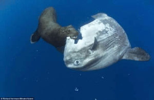 "youmakemelikecharity:  rock-moms:  vastderp:  gaybuttfuckzone:  deltasniper1000:  So someone in a group asked me to tell them why I hate the ocean sunfish so much, and apparently it was ~too mean~ and was deleted. To perpetuate the truth and stand up for ethical journalism, I'm posting it here. [Rated NC-17 for language.]  Disclaimer, I care about marine life more than I care about anything else, for real. Except this big dumb idiot. And it's not like an ~ironic~ thing, I mean it IS hilarious to me and they ARE THE BIGGEST JOKE PLAYED ON EARTH but I seriously fucking hate them.  THE MOLA MOLA FISH (OR OCEAN SUNFISH)  They are the world's largest boney fish, weighing up to 5,000 pounds. And since they have very little girth, that just makes them these absolutely giant fucking dinner plates that God must have accidentally dropped while washing dishes one day and shrugged his shoulders at because no one could have imagined this would happen. AND WITH NO PURPOSE. EVERY POUND OF THAT IS A WASTED POUND AND EVERY FOOT OF IT (10 FT BY 14 FT) IS WASTED SPACE.  They are so completely useless that scientists even debate about how they move. They have little control other than some minor wiggling. Some say they must just push water out of their mouths for direction (?????). They COULD use their back fin EXCEPT GUESS WHAT IT DOESNT FUCKING GROW. It just continually folds in on itself, so the freaking cells are being made, this piece of floating garbage just doesn't put them where they need to fucking go.   So they don't have swim bladders. You know, the one thing that every fish has to make sure it doesn't just sink to the bottom of the ocean when they stop moving and can stay the right side up. This creature. That can barely move to begin with. Can never stop its continuous tour of idiocy across the ocean or it'll fucking sink. EXCEPT. EXCEPT. When they get stuck on top of the water! Which happens frequently! Because without the whole swim bladder thing, if the ocean pushes over THE THINNEST BUT LARGEST MOST TOPPLE-ABLE FISH ON THE PLANET, shit outta luck! There is no creature on this earth that needs a swim bladder more than this spit in the face of nature, AND YET. Some scientists have speculated that when they do that, they are absorbing energy from the sun because no one fucking knows how they manage to get any real energy to begin with. So they need the sun I guess. But good news, when they end up stuck like that, it gives birds a chance to land on their goddamn island of a body and eat the bugs and parasites out of its skin because it's basically a slowly migrating cesspool. Pros and cons.   ""If they are so huge, they must at least be decent predators."" No. No. The most dangerous thing about them is, as you may have guessed, their stupidity. They have caused the death of one person before. Because it jumped onto a boat. On a human. And in 2005 it decided to relive its mighty glory days and do it again, this time landing on a four-year-old boy. Luckily Byron sustained no injuries. Way to go, fish. Great job.  They mostly only eat jellyfish because of course they do, they could only eat something that has no brain and a possibility of drifting into their mouths I guess. Everything they do eat has almost zero nutritional value and because it's so stupidly fucking big, it has to eat a ton of the almost no nutritional value stuff to stay alive. Dumb. See that ridiculous open mouth? (This is actually why this is my favorite picture of one, and I have had it saved to my phone for three years) ""Oh no! What could have happened! How could this be!"" Do not let that expression fool you, they just don't have the goddamn ability to close their mouths because their teeth are fused together, and ya know what, it is good it floats around with such a clueless expression on its face, because it is in fact clueless as all fuck.  They do SOMETIMES get eaten though. BUT HARDLY. No animal truly uses them as a food source, but instead (which has lead us to said photo) will usually just maim the fuck out of them for kicks. Seals have been seen playing with their fins like frisbees. Probably the most useful thing to ever come from them.   ""Wow, you raise some good points here, this fish truly is proof that God has abandoned us."" Yes, thank you. ""But if they're so bad at literally everything, why haven't they gone extinct."" Great question.   BECAUSE THIS THING IS SO WORTHLESS IT DOESNT REALIZE IT SHOULD NOT EXIST. IT IS SO UNAWARE OF LITERALLY FUCKING EVERYTHING THAT IT DOESNT REALIZE THAT IT'S DOING MAYBE THE WORST FUCKING JOB OF BEING A FISH, OR DEBATABLY THE WORST JOB OF BEING A CLUSTER OF CELLS THAN ANY OTHER CLUSTER OF CELLS. SO WHAT DOES IT DO? IT LAYS THE MOST EGGS OUT OF EVERYTHING. Besides some bugs, there are some ants and stuff that'll lay more. IT WILL LAY 300 MILLION EGGS AT ONE TIME. 300,000,000. IT SURVIVES BECAUSE IT WOULD BE STATISTICALLY IMPROBABLE, DARE I SAY IMPOSSIBLE, THAT THERE WOULDNT BE AT LEAST ONE OF THOSE 300,000,000 (that is EACH time they lay eggs) LEFT SURVIVING AT THE END OF THE DAY.   And this concludes why I hate the fuck out of this complete failure of evolution, the Ocean Sunfish. If I ever see one, I will throw rocks at it.   LIVE OCEAN SUNFISH UPDATE: FISH DISCOVERED TO BE MORE DUMB THAN PREVIOUSLY THOUGHTSo  the top and bottom fins kind of wiggle all of the time and they are not  sure exactly why but think it's stabilization. BUT they can jump by  turning on their side and using them as  wing type things. It is suspected they do this as a way of ""scratching""  their parasite ridden bodies. So learning that I was like ""huh okay they  have a skill."" Then I discovered this: Since they  are so terrible at swimming, the current will carry them into deep cold  water. Then they die. So I have learned that they are so stupid they  just get slowly consumed by a freezing death. All while they have the  full ability for that to not happen. Because they're fucking worthless  floating garbage    i read this out loud to my marine bio nerd friend and she agrees   be nice to them they're doing their best :( : ORihad Herrma M  S youmakemelikecharity:  rock-moms:  vastderp:  gaybuttfuckzone:  deltasniper1000:  So someone in a group asked me to tell them why I hate the ocean sunfish so much, and apparently it was ~too mean~ and was deleted. To perpetuate the truth and stand up for ethical journalism, I'm posting it here. [Rated NC-17 for language.]  Disclaimer, I care about marine life more than I care about anything else, for real. Except this big dumb idiot. And it's not like an ~ironic~ thing, I mean it IS hilarious to me and they ARE THE BIGGEST JOKE PLAYED ON EARTH but I seriously fucking hate them.  THE MOLA MOLA FISH (OR OCEAN SUNFISH)  They are the world's largest boney fish, weighing up to 5,000 pounds. And since they have very little girth, that just makes them these absolutely giant fucking dinner plates that God must have accidentally dropped while washing dishes one day and shrugged his shoulders at because no one could have imagined this would happen. AND WITH NO PURPOSE. EVERY POUND OF THAT IS A WASTED POUND AND EVERY FOOT OF IT (10 FT BY 14 FT) IS WASTED SPACE.  They are so completely useless that scientists even debate about how they move. They have little control other than some minor wiggling. Some say they must just push water out of their mouths for direction (?????). They COULD use their back fin EXCEPT GUESS WHAT IT DOESNT FUCKING GROW. It just continually folds in on itself, so the freaking cells are being made, this piece of floating garbage just doesn't put them where they need to fucking go.   So they don't have swim bladders. You know, the one thing that every fish has to make sure it doesn't just sink to the bottom of the ocean when they stop moving and can stay the right side up. This creature. That can barely move to begin with. Can never stop its continuous tour of idiocy across the ocean or it'll fucking sink. EXCEPT. EXCEPT. When they get stuck on top of the water! Which happens frequently! Because without the whole swim bladder thing, if the ocean pushes over THE THINNEST BUT LARGEST MOST TOPPLE-ABLE FISH ON THE PLANET, shit outta luck! There is no creature on this earth that needs a swim bladder more than this spit in the face of nature, AND YET. Some scientists have speculated that when they do that, they are absorbing energy from the sun because no one fucking knows how they manage to get any real energy to begin with. So they need the sun I guess. But good news, when they end up stuck like that, it gives birds a chance to land on their goddamn island of a body and eat the bugs and parasites out of its skin because it's basically a slowly migrating cesspool. Pros and cons.   ""If they are so huge, they must at least be decent predators."" No. No. The most dangerous thing about them is, as you may have guessed, their stupidity. They have caused the death of one person before. Because it jumped onto a boat. On a human. And in 2005 it decided to relive its mighty glory days and do it again, this time landing on a four-year-old boy. Luckily Byron sustained no injuries. Way to go, fish. Great job.  They mostly only eat jellyfish because of course they do, they could only eat something that has no brain and a possibility of drifting into their mouths I guess. Everything they do eat has almost zero nutritional value and because it's so stupidly fucking big, it has to eat a ton of the almost no nutritional value stuff to stay alive. Dumb. See that ridiculous open mouth? (This is actually why this is my favorite picture of one, and I have had it saved to my phone for three years) ""Oh no! What could have happened! How could this be!"" Do not let that expression fool you, they just don't have the goddamn ability to close their mouths because their teeth are fused together, and ya know what, it is good it floats around with such a clueless expression on its face, because it is in fact clueless as all fuck.  They do SOMETIMES get eaten though. BUT HARDLY. No animal truly uses them as a food source, but instead (which has lead us to said photo) will usually just maim the fuck out of them for kicks. Seals have been seen playing with their fins like frisbees. Probably the most useful thing to ever come from them.   ""Wow, you raise some good points here, this fish truly is proof that God has abandoned us."" Yes, thank you. ""But if they're so bad at literally everything, why haven't they gone extinct."" Great question.   BECAUSE THIS THING IS SO WORTHLESS IT DOESNT REALIZE IT SHOULD NOT EXIST. IT IS SO UNAWARE OF LITERALLY FUCKING EVERYTHING THAT IT DOESNT REALIZE THAT IT'S DOING MAYBE THE WORST FUCKING JOB OF BEING A FISH, OR DEBATABLY THE WORST JOB OF BEING A CLUSTER OF CELLS THAN ANY OTHER CLUSTER OF CELLS. SO WHAT DOES IT DO? IT LAYS THE MOST EGGS OUT OF EVERYTHING. Besides some bugs, there are some ants and stuff that'll lay more. IT WILL LAY 300 MILLION EGGS AT ONE TIME. 300,000,000. IT SURVIVES BECAUSE IT WOULD BE STATISTICALLY IMPROBABLE, DARE I SAY IMPOSSIBLE, THAT THERE WOULDNT BE AT LEAST ONE OF THOSE 300,000,000 (that is EACH time they lay eggs) LEFT SURVIVING AT THE END OF THE DAY.   And this concludes why I hate the fuck out of this complete failure of evolution, the Ocean Sunfish. If I ever see one, I will throw rocks at it.   LIVE OCEAN SUNFISH UPDATE: FISH DISCOVERED TO BE MORE DUMB THAN PREVIOUSLY THOUGHTSo  the top and bottom fins kind of wiggle all of the time and they are not  sure exactly why but think it's stabilization. BUT they can jump by  turning on their side and using them as  wing type things. It is suspected they do this as a way of ""scratching""  their parasite ridden bodies. So learning that I was like ""huh okay they  have a skill."" Then I discovered this: Since they  are so terrible at swimming, the current will carry them into deep cold  water. Then they die. So I have learned that they are so stupid they  just get slowly consumed by a freezing death. All while they have the  full ability for that to not happen. Because they're fucking worthless  floating garbage    i read this out loud to my marine bio nerd friend and she agrees   be nice to them they're doing their best :("