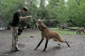 orokinsheep:  jumpingjacktrash:  gallusrostromegalus:  letglitchdraw:  mgs3: LOOK AT THIS INCREDIBLY GOOD BOY  WHAT IN THE FUCK NIGHTMARE DOG IS THAT  That is a Maned wolf and they are lovely bizarre creatures!  They have long legs so they can see over the tall grass they live in, and tend to be very shy around humans (these are probably captive-born).  Have some more pictures: Walk Walk Fashion Baby Here's a baby!  Poofy!  horse woof   I love them : orokinsheep:  jumpingjacktrash:  gallusrostromegalus:  letglitchdraw:  mgs3: LOOK AT THIS INCREDIBLY GOOD BOY  WHAT IN THE FUCK NIGHTMARE DOG IS THAT  That is a Maned wolf and they are lovely bizarre creatures!  They have long legs so they can see over the tall grass they live in, and tend to be very shy around humans (these are probably captive-born).  Have some more pictures: Walk Walk Fashion Baby Here's a baby!  Poofy!  horse woof   I love them
