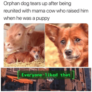 I'm cry: Orphan dog tears up after being  reunited with mama cow who raised him  when he was a puppy  Everyone 1iked that I'm cry