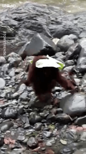 Just an orangutan using a leaf as an umbrella so he doesn't get wet 😂🍃: ORYTRENDE Just an orangutan using a leaf as an umbrella so he doesn't get wet 😂🍃
