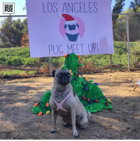 "Memes, Angel, and Angels: OS ANGELES ""I was in attendance at the LA Pug Meetup today. This is my casual look."" -Ozzy #lapugmeetup http://ift.tt/2hGDsoM"