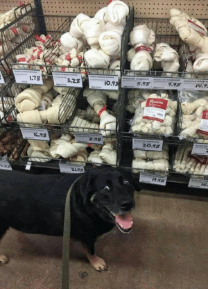 "thewolf-in-me: tastefullyoffensive: ""Are you seeing this sh*t, human?"" (via convicttv) These chews are called rawhide chews, and please please PLEASE FOR THE LOVE OF GOD NEVER GET YOUR DOGS THESE!! They're so FUCKING bad and even dangerous for them! Here are reasons why: 1) They use all sorts of chemicals (like formaldehyde, arsenic, and bleach) to preserve them and make them look white and nice for your dog. 2) Not only do they use glue to keep the shape of the bone the way it is, but the thing basically IS glue. It's so preserved, that when a dog eats it, it keeps it's goopiness and can harden in the dog's stomach, causing blockages. I've heard dozens of stories of dogs having to go to the ER to get these surgically removed from their intestines. 3) When they're not chewed properly, the edges can be sharp and cause tearing in your dog's stomach lining. 4) THESE THINGS HAVE BEEN KNOWN TO KILL DOGS, CAUSE SEIZURES, ALL SORTS OF OTHER HORRIBLE THINGS, AND THAT SHOULD BE ENOUGH. There are natural alternatives, like tendons, bones, antlers, bully sticks/pizzle sticks, or vege chews. They ARE more expensive, but they are worth the money. : OSCOE RAWHM  ROSCOE RAWIODE  ROSCOE RAWHIDE  9.98  14.9  1.78  5.98  3.28  I0.98  Roscoe  16.98  8.93  ROSCOC RAWHIDE  ROSCOE  20.98  5২  21.93  aROEcoe RA  19.98  Is. thewolf-in-me: tastefullyoffensive: ""Are you seeing this sh*t, human?"" (via convicttv) These chews are called rawhide chews, and please please PLEASE FOR THE LOVE OF GOD NEVER GET YOUR DOGS THESE!! They're so FUCKING bad and even dangerous for them! Here are reasons why: 1) They use all sorts of chemicals (like formaldehyde, arsenic, and bleach) to preserve them and make them look white and nice for your dog. 2) Not only do they use glue to keep the shape of the bone the way it is, but the thing basically IS glue. It's so preserved, that when a dog eats it, it keeps it's goopiness and can harden in the dog's stomach, causing blockages. I've heard dozens of stories of dogs having to go to the ER to get these surgically removed from their intestines. 3) When they're not chewed properly, the edges can be sharp and cause tearing in your dog's stomach lining. 4) THESE THINGS HAVE BEEN KNOWN TO KILL DOGS, CAUSE SEIZURES, ALL SORTS OF OTHER HORRIBLE THINGS, AND THAT SHOULD BE ENOUGH. There are natural alternatives, like tendons, bones, antlers, bully sticks/pizzle sticks, or vege chews. They ARE more expensive, but they are worth the money."