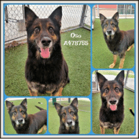 Dogs, Food, and Memes: Oso  A478755 Email Placement@sanantoniopetsalive.org if you are interested in Adopting, Fostering, or Rescuing!  Our shelter is open from 11AM-7PM Mon -Fri, 11AM-5PM Sat and Sun.  Urgent Pets are at Animal Care Services/151 Campus. SAPA! is Only in Bldg 1 GO TO SAPA BLDG 1 & bring the Pet's ID! Address: 4710 Hwy. 151 San Antonio, Texas 78227 (Next Door to the San Antonio Food Bank on 151 Access Road)  **All Safe Dogs can be found in our Safe Album!** ---------------------------------------------------------------------------------------------------------- **SHORT TERM FOSTERS ARE NEEDED TO SAVE LIVES- email placement@sanantoniopetsalive.org if you are interested in being a temporary foster!!**