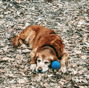 Otis, my 13 year old best friend napping after exploring the creek while camping. Love him so much!: Otis, my 13 year old best friend napping after exploring the creek while camping. Love him so much!