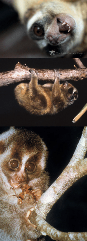"Bodies , Fuck You, and Tumblr: oto The Little Fireface Project zsl-edge-of-existence: Slow lorises are the world's only venomous primate.  The venom is secreted from a gland in the loris' elbow which the loris licks, mixing the secretion with their saliva.  The loris can then inflict painful, toxic bites, and will also lick the fur of their infants before leaving them, covering their bodies with the toxin to deter predators.  Wildlife biologists have said that the bite of the slow loris is among the most painful in the world, pain which is exacerbated by the fact that the loris will bite down and refuse to let go in an effort to inject as much venom as possible into the wound.  Some victims have found that the only way to make the loris let go is to submerge it in water.   There is some speculation that, rather than being truly toxic, the venom of the slow loris actually induces a severe allergic reaction in humans.  The only recorded human death due to slow loris bite occurred due to   anaphylactic  shock.  So that video with that little loris eating a rice ball  the whole time the loris was like ""i will fuck you up if you don't give me that rice ball"" *blink blink* wow"