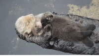 otter moms let baby otters float on their stomachs to keep them dry and now I can't stop crying: otter moms let baby otters float on their stomachs to keep them dry and now I can't stop crying