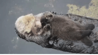 otter moms let baby otters float on their stomachs to keep them dry..this is so precious 😭😭: otter moms let baby otters float on their stomachs to keep them dry..this is so precious 😭😭