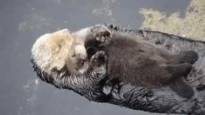 OTTER MOMS LET BABY OTTERS FLOAT ON THEIR STOMACHS TO KEEP THEM DRY AND NOW I CAN NOT STOP CRYING: OTTER MOMS LET BABY OTTERS FLOAT ON THEIR STOMACHS TO KEEP THEM DRY AND NOW I CAN NOT STOP CRYING