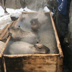 Target, Tumblr, and Blog: ottermatopoeia: wrongsara: Truly uplifting to know there are capybaras in a little hot spring in Japan listening to Patsy Cline.