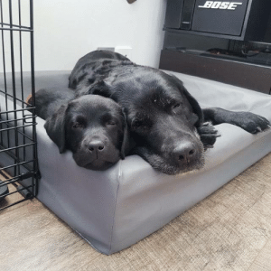 Our 15 year old black lab has welcomed our new 8 week old black lab puppy and their relationship is the absolute cutest! (via): Our 15 year old black lab has welcomed our new 8 week old black lab puppy and their relationship is the absolute cutest! (via)