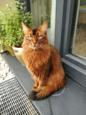 Our beautiful somali cat, goliath: Our beautiful somali cat, goliath