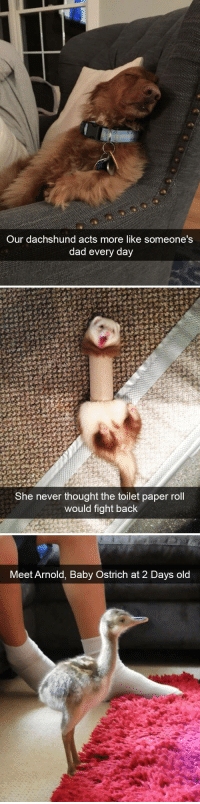animalsnaps:Cute animal snaps: Our dachshund acts more like someone's  dad every day   She never thought the toilet paper roll  would fight back   Meet Arnold, Baby Ostrich at 2 Days old animalsnaps:Cute animal snaps