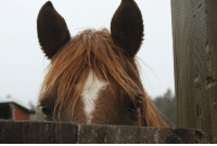 """Horse, Gate, and Copper: Our horse """"Copper Larry"""" likes to play peekaboo from behind the barn gate. Caught him mid-peek."""