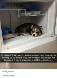 """Regret, Husky, and Humans of Tumblr: Our Husky """"Stark' seemed a little overheated after his walk this  morning, so we decided to try something out. We regret it now  because it is next to impossible to get him to come out...  tastefully offensive  lamericancarrot"""