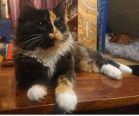 Gorgeous, Hair, and Looking: Our long-hair tortoiseshell kitty, Navi.