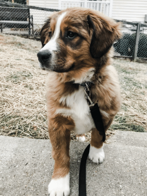 Our majestic Bernese Mountain Dog Mix puppy