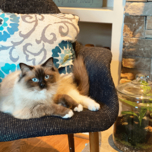 Our rag doll Sophie is as gorgeous as ever.: Our rag doll Sophie is as gorgeous as ever.