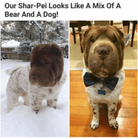 Memes, Bear, and 🤖: Our Shar-Pei Looks Like A Mix Of A  Bear And A Dog! This is miracle (📸 @boethebearcoat) | Follow @aranjevi for more!