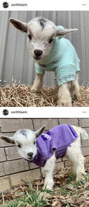thesassygoats:goats in sweaters make everything better: ourlittleark   ourlittleark thesassygoats:goats in sweaters make everything better