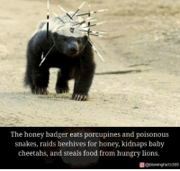 Food, Hungry, and Memes: Owen Slater P  The honey badger eats porcupines and poisonous  snakes, raids beehives for honey, kidnaps baby  cheetahs, and steals food from hungry lions.  回@blowingfacts365