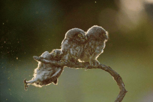 owlowlies:These two baby owls and their sibling falling off a branch: owlowlies:These two baby owls and their sibling falling off a branch