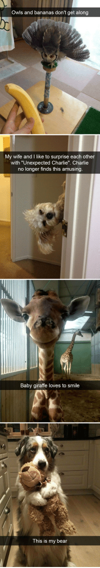 "animalsnaps:Animal snaps: Owls and bananas don't get along   My wife and I like to surprise each other  with ""Unexpected Charlie"". Charlie  no longer finds this amusing   Baby giraffe loves to smile   This is my bear animalsnaps:Animal snaps"