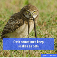 Did you know that some Owls keep little snakes as their pets? Eastern screech owls bring blind snakes to their nests to rid them of larvae and parasites so their babies will grow faster and stronger. The snakes don't seem to mind, because they hang around and eat like crazy until the nestlings hatch and then slither back down to find a new home underground.: Owls sometimes keep  snakes as pets  @FACTS I guff-com Did you know that some Owls keep little snakes as their pets? Eastern screech owls bring blind snakes to their nests to rid them of larvae and parasites so their babies will grow faster and stronger. The snakes don't seem to mind, because they hang around and eat like crazy until the nestlings hatch and then slither back down to find a new home underground.