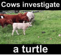 Memes, Turtle, and 🤖: ows investigate  a turtle Udderly fantastic!